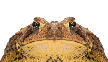 Warts on a Toad