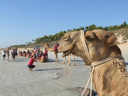 Close up of camel on Cable Beach